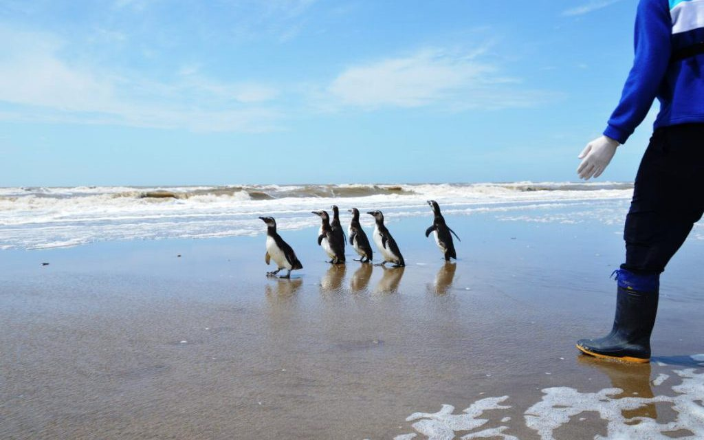 Fauna marina La Fundación Mundo Marino rehabilitó y devolvió al mar a 7 pingüinos