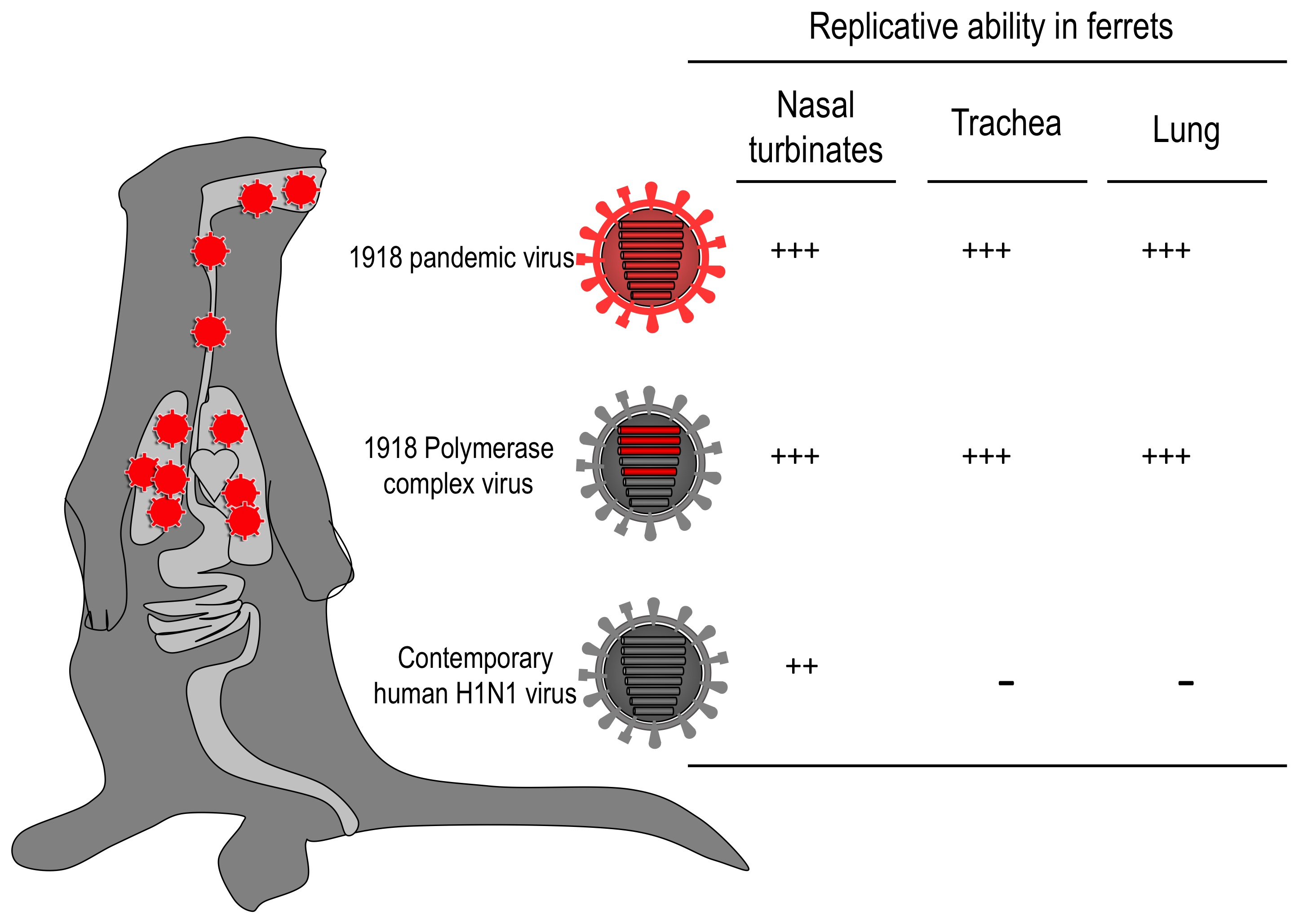 Insights Into The Pathogenesis Of The Spanish Flu Contagions