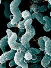 Campylobacter bacteria