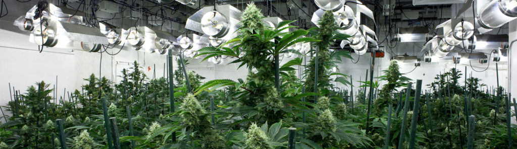 cannabis.growroomBOTTOM