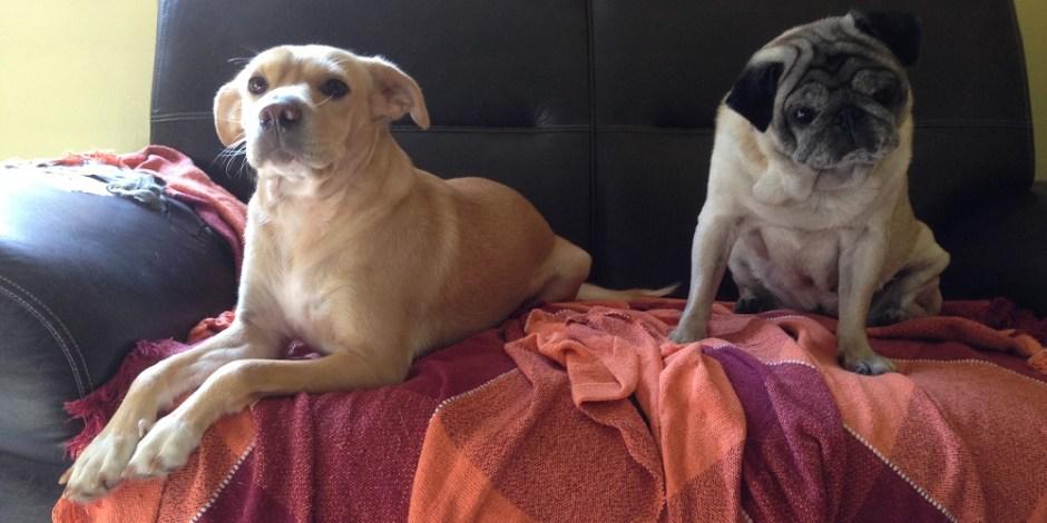 A imagem mostra duas cachorras no sofá. A da esquerda é uma vira-lata com de mel e está deitada olhando para frente. A da direita é uma pug velhinha e está sentada olhando também para frente.