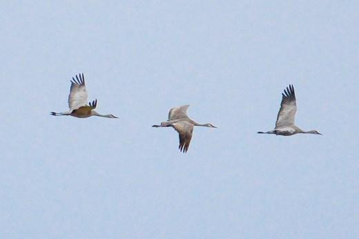 Cranes in Flight 7-1