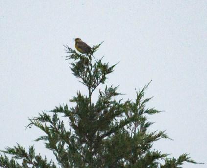 Distant Meadowlark