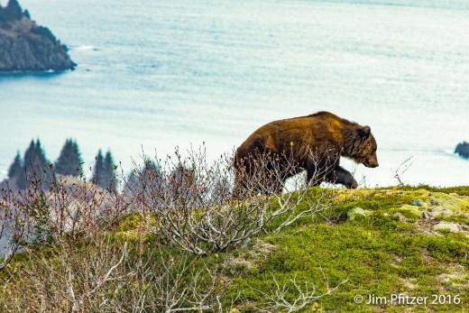 big-brown-bear-6