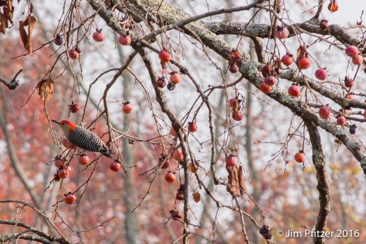 Persimmon Tree-2.jpg
