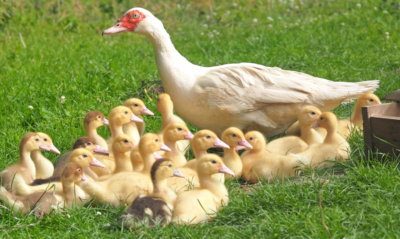Ducks are now a part of livelihood
