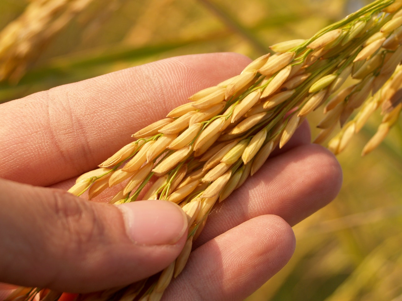 Golden paddy are more expensive