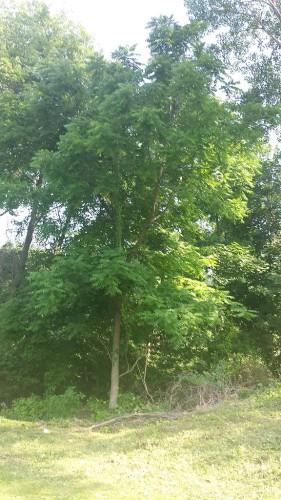 tall poison sumac tree