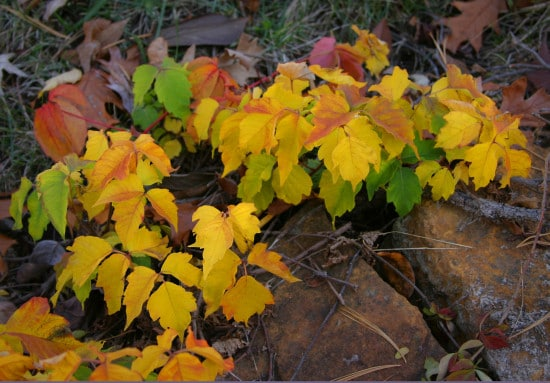 poison ivy in the fall