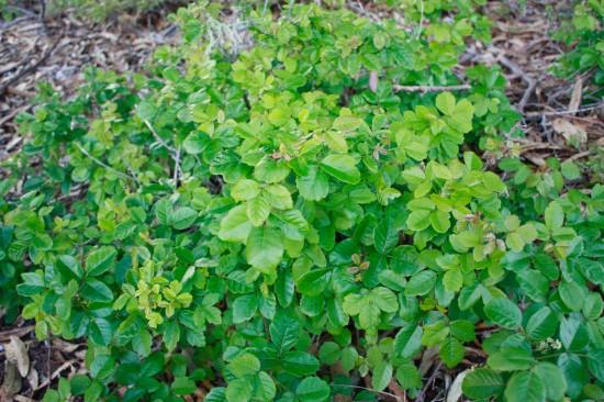 poison oak shrub green leaves
