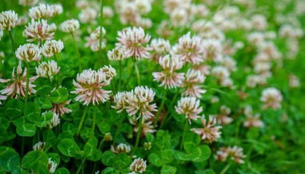 Clover lawn (iStock/PA)