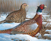 A drawing of a male and female pheasant standing in snow-covered grass