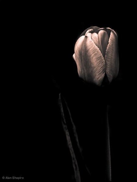 Tulips and friends – black and white photos by Alan Shapiro