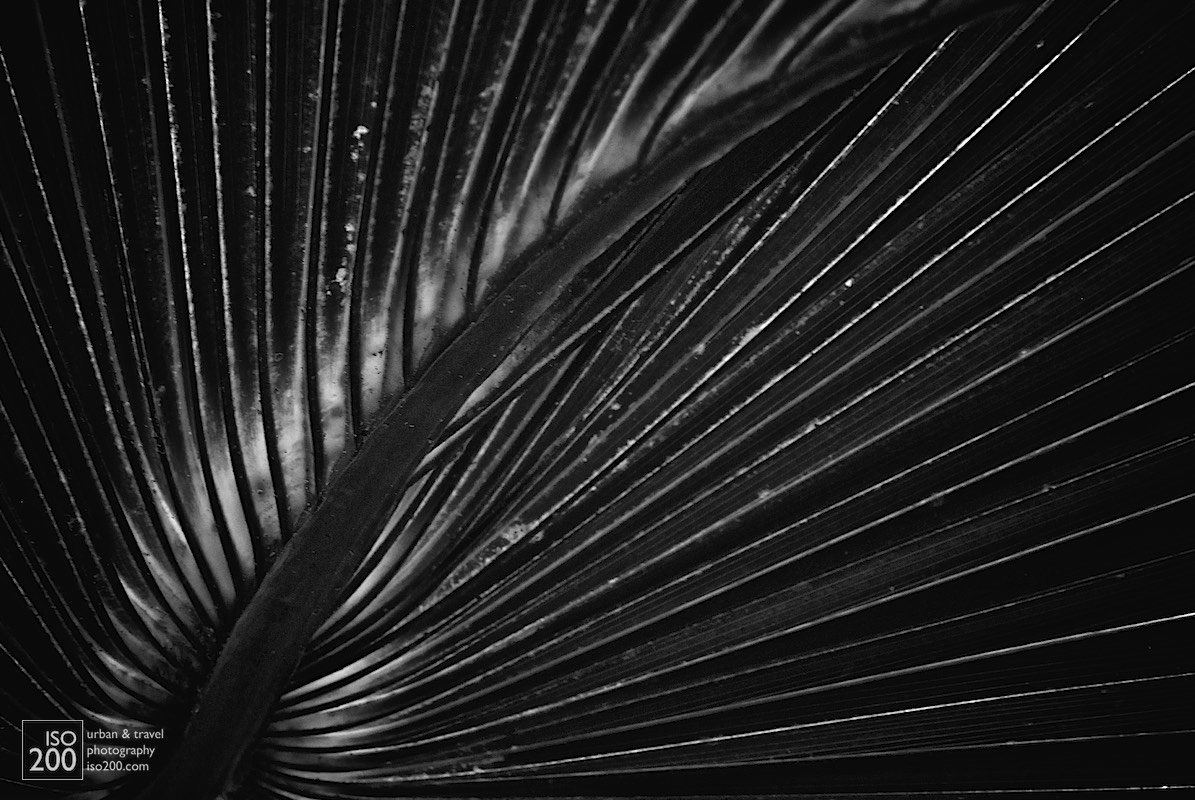 Black and white photo of a palm tree leaf.