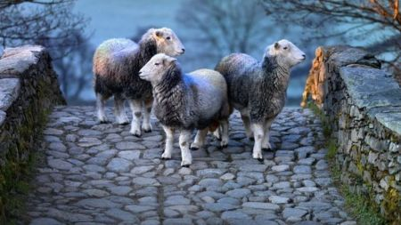 Photographs celebrate the Lake District's rare sheep breeds
