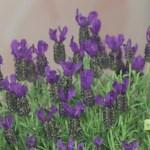 Taking Care Of A Pretty Lavender Topiary Studio 5