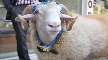 سوسة: عامل بمعهد ثانوي يؤوي خروف العيد في قاعة تدريس