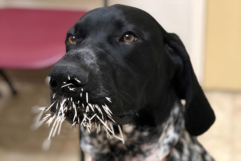 A Deutsch Kurzhaar with a face full of porcupine quills