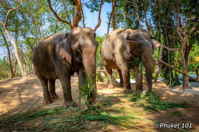 phuket-elephant-retirement-camp-8
