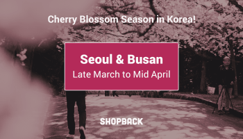 cherry blossoms in korea during spring