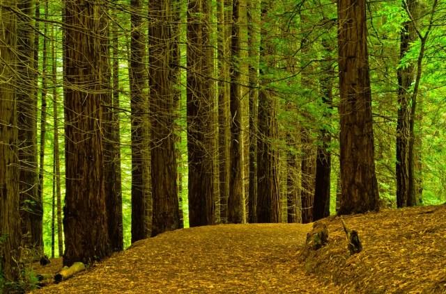 bosque de sequoias en Cantabria