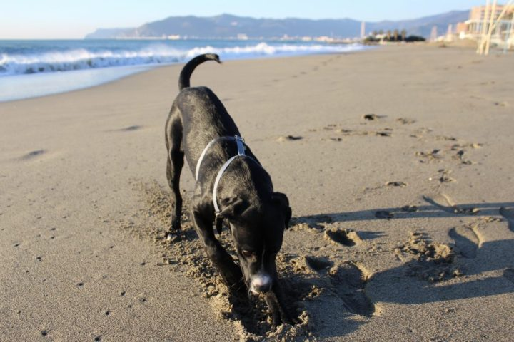 Simba on the beach in Savona