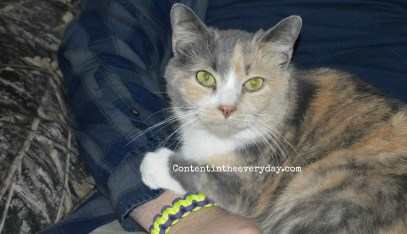 Calico Cat sitting on a man's lap