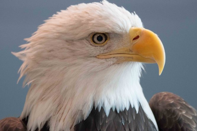 Photo This Eagle Is One Of 13 Found Dead On A Farm In Federalsburg