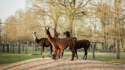 Winter vive em uma fazenda na Bélgica junto outras lhamas e alpacas - Tim Coppens/Divulgação University of Texas