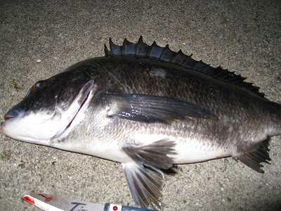 チヌ落とし込み釣りの夜釣りの方法!仕掛けやエサは何がいい!