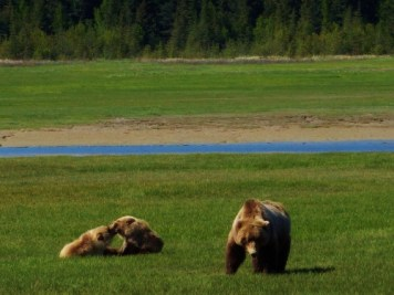 A mama Coastal Brown Bear and her two cubs in Katmai National Park