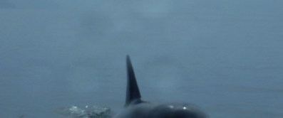 A rare view of Orcas near Tutka Bay