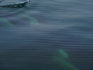 Orca diving under the boat!