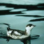 Marbled_Murrelet-wick