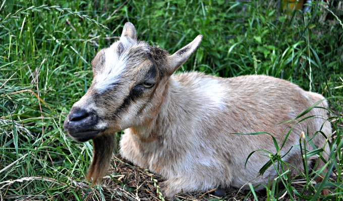 Video Of Our New Goat Kids…..Still In The Womb!