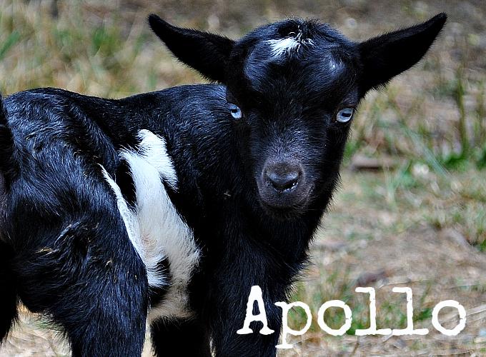 More Goat Kids Born on the Farm!