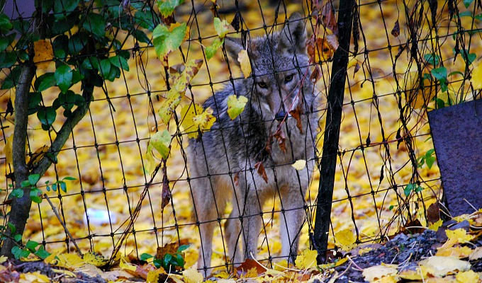 Coyote_Fence_sm