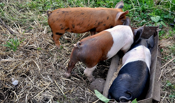 Piglets_Trough