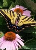 17   swallowtail