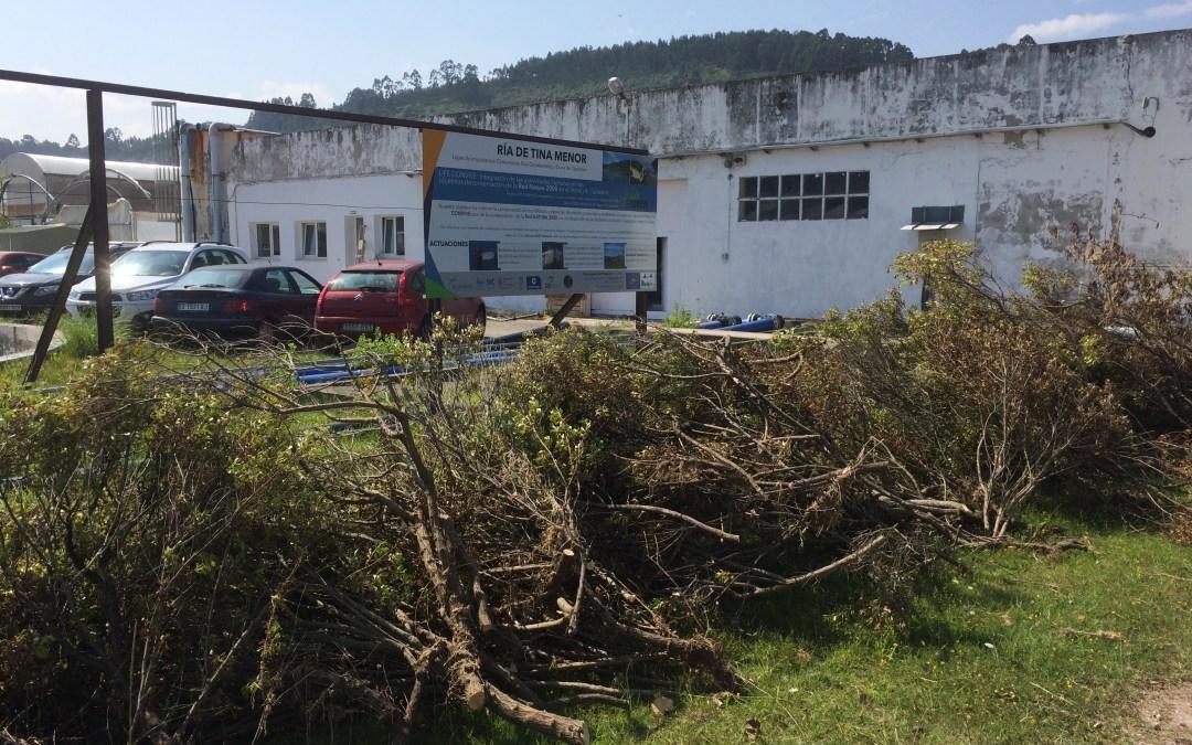 Iniciadas las acciones de eliminación de Baccharis halimifolia