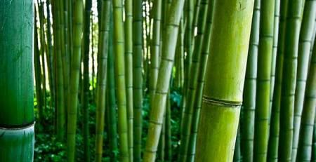 canne di bambù verdi