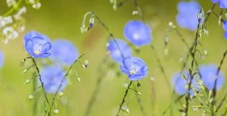 fiori lino prato