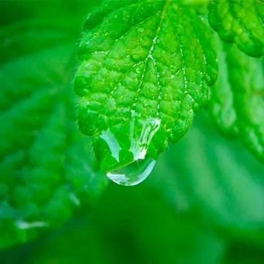 foglia melissa pianta goccia acqua