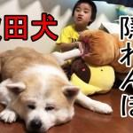 秋田犬隠れんぼ!シェパード犬と男の料理・子供と遊ぶ大型犬達