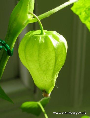 Tomatillo growing