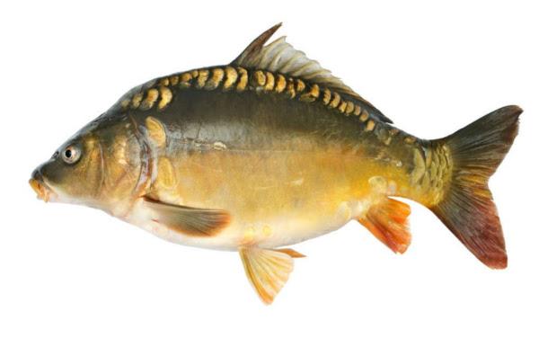 Hebrew english fish chart culinart kosher for Is cod fish kosher