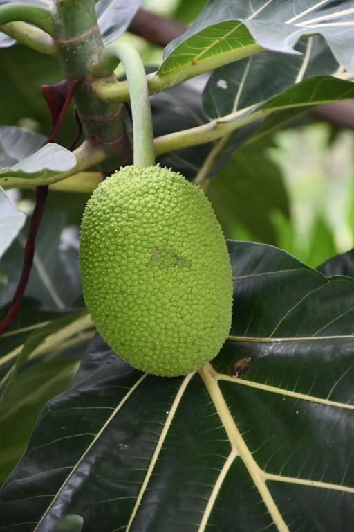 unripe jackfruit