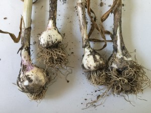 Garlic - CookingCoOp.com