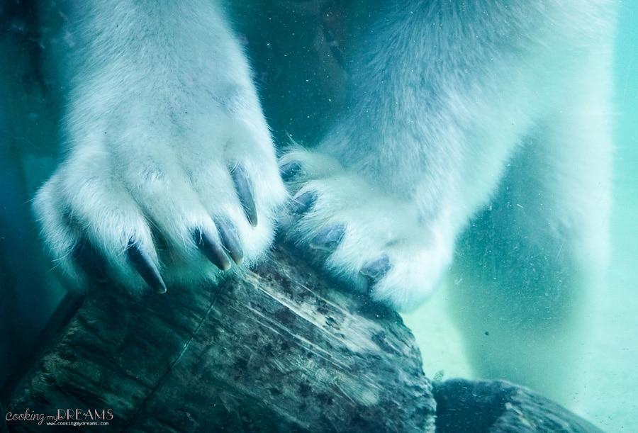 paws of polar bear in water