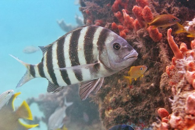 Sheepshead fish are also called convict fish due to the black and white bands that run down its silvery body.